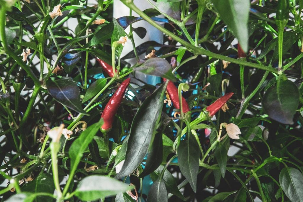 Plantui Smart Garden Plants Chili 06