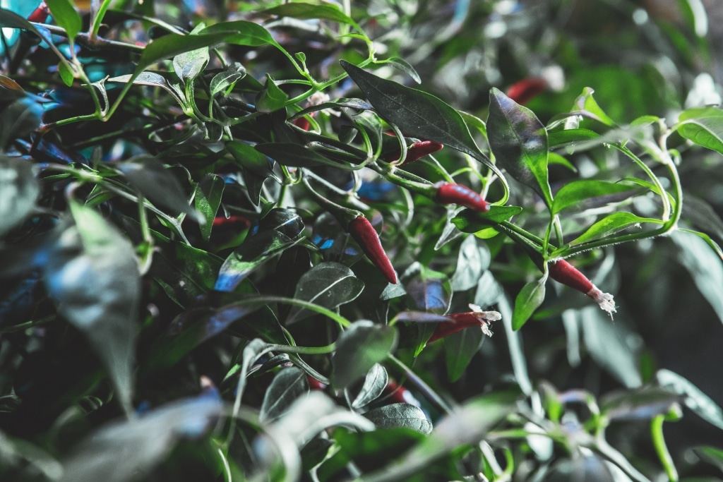 Plantui Smart Garden Plants Chili 08