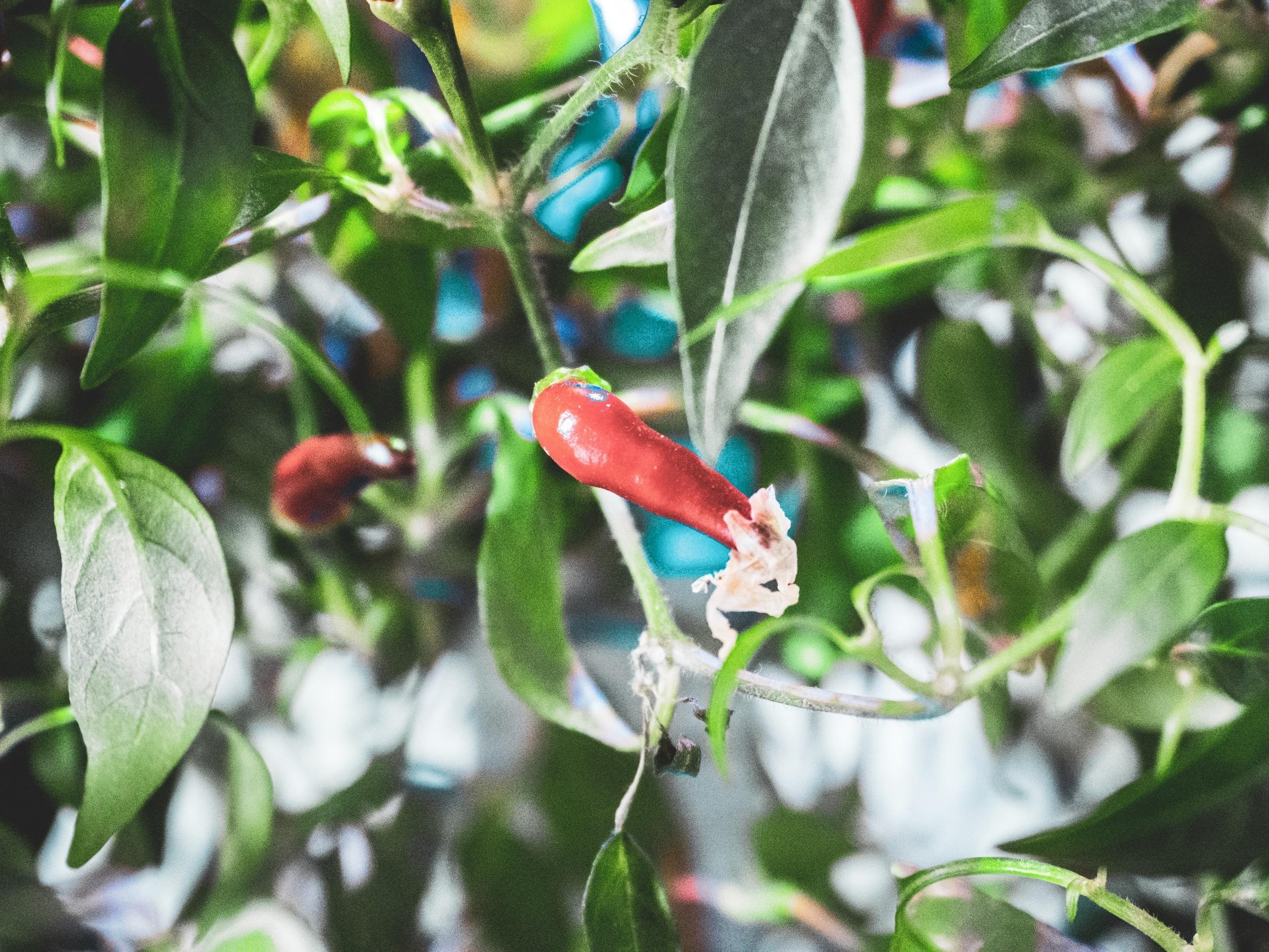 Plantui Smart Garden Plants Chili 11 scaled