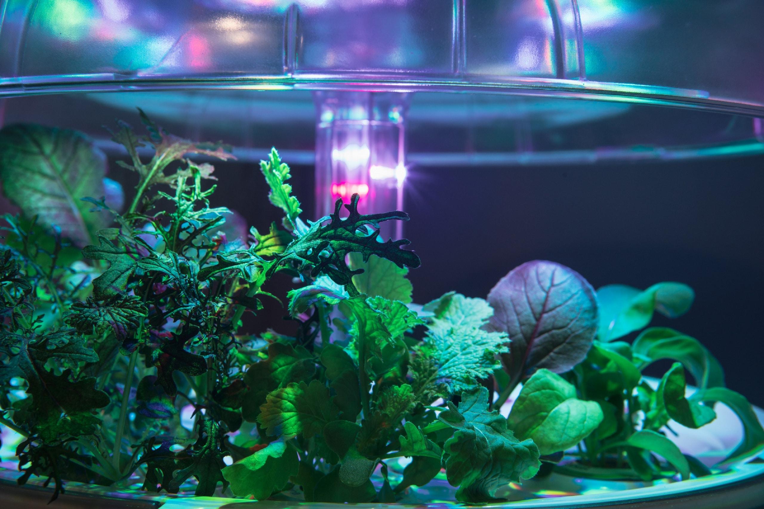 Plantui Smart Garden Plants Mustard Fringed Red Mustard Wasabina 01 scaled
