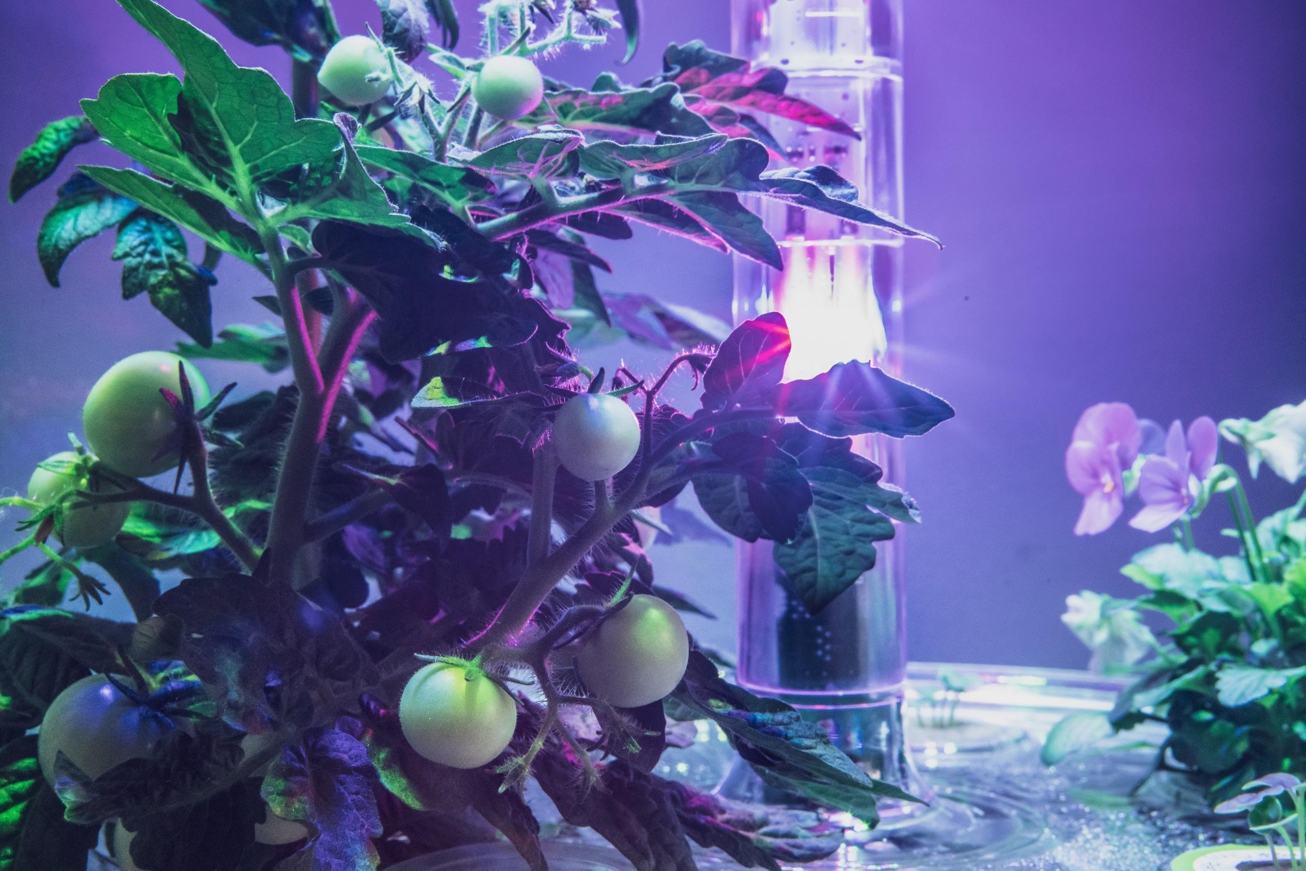 Plantui Smart Garden Plants Tomato 04 scaled