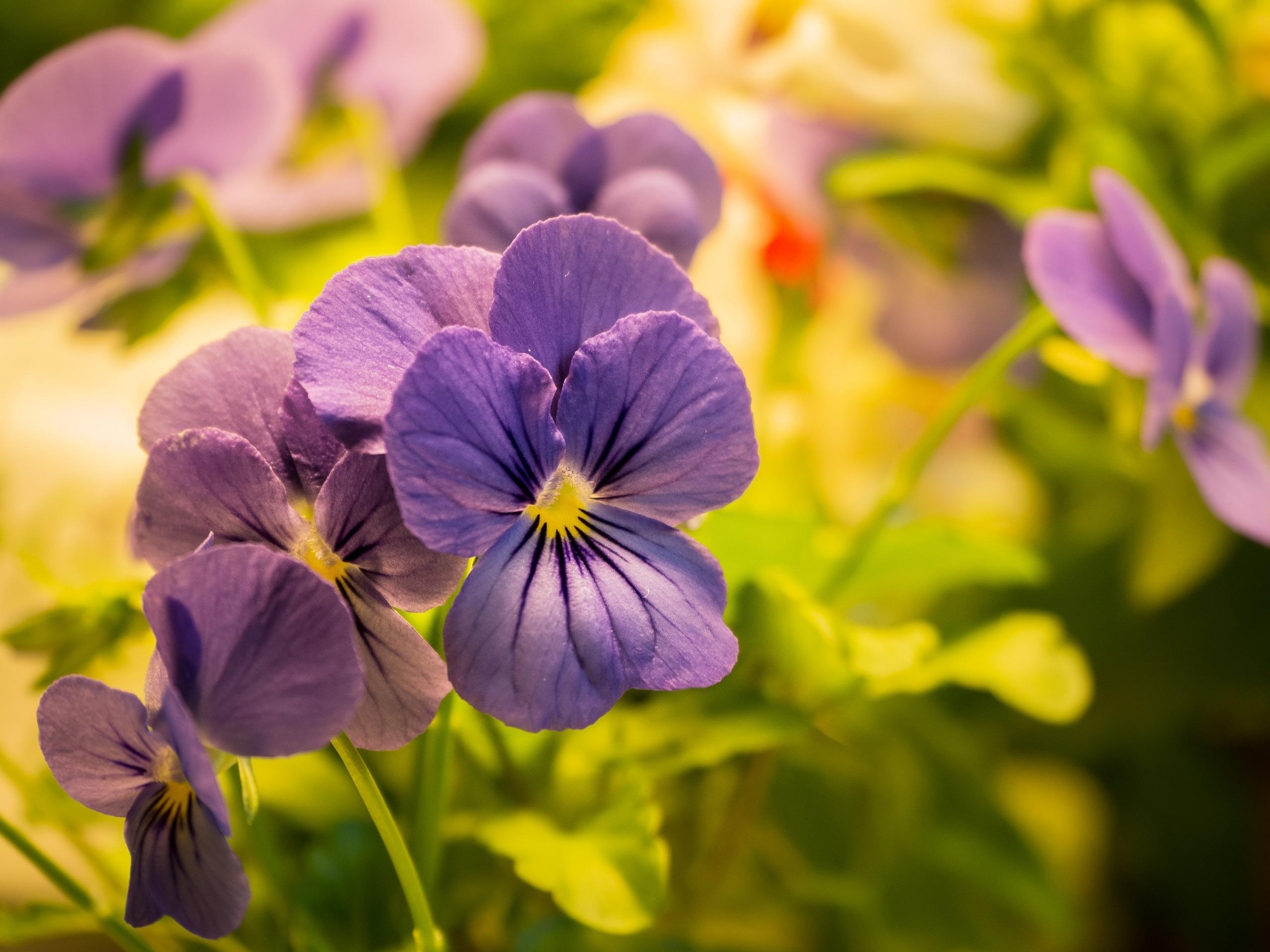 Plantui Smart Garden Viola Purple 01 scaled