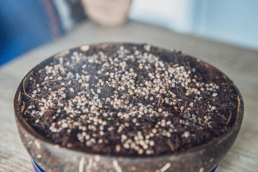 Grow Grow Nut Aussaehen 07