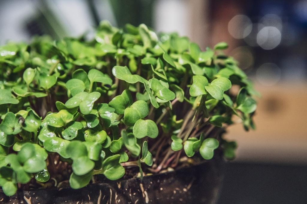 Grow Grow Nut Brokkoli 01