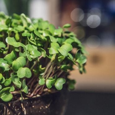 Grow Grow Nut Brokkoli 01 Square