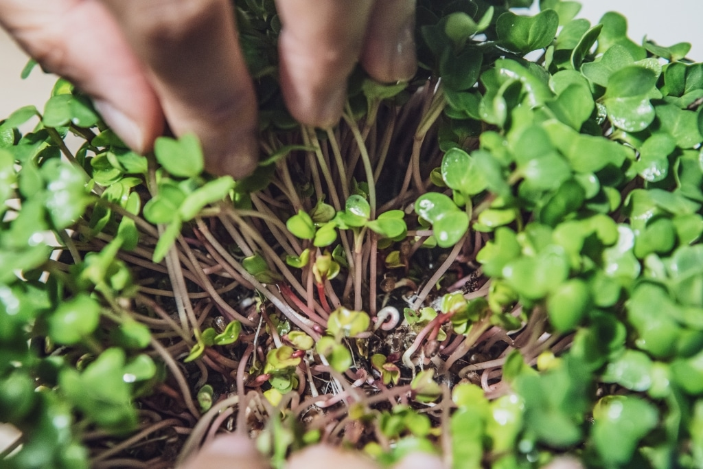 Grow Grow Nut Brokkoli 07