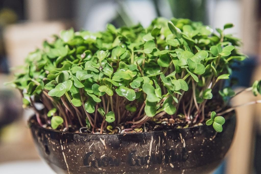 Grow Grow Nut Brokkoli 08
