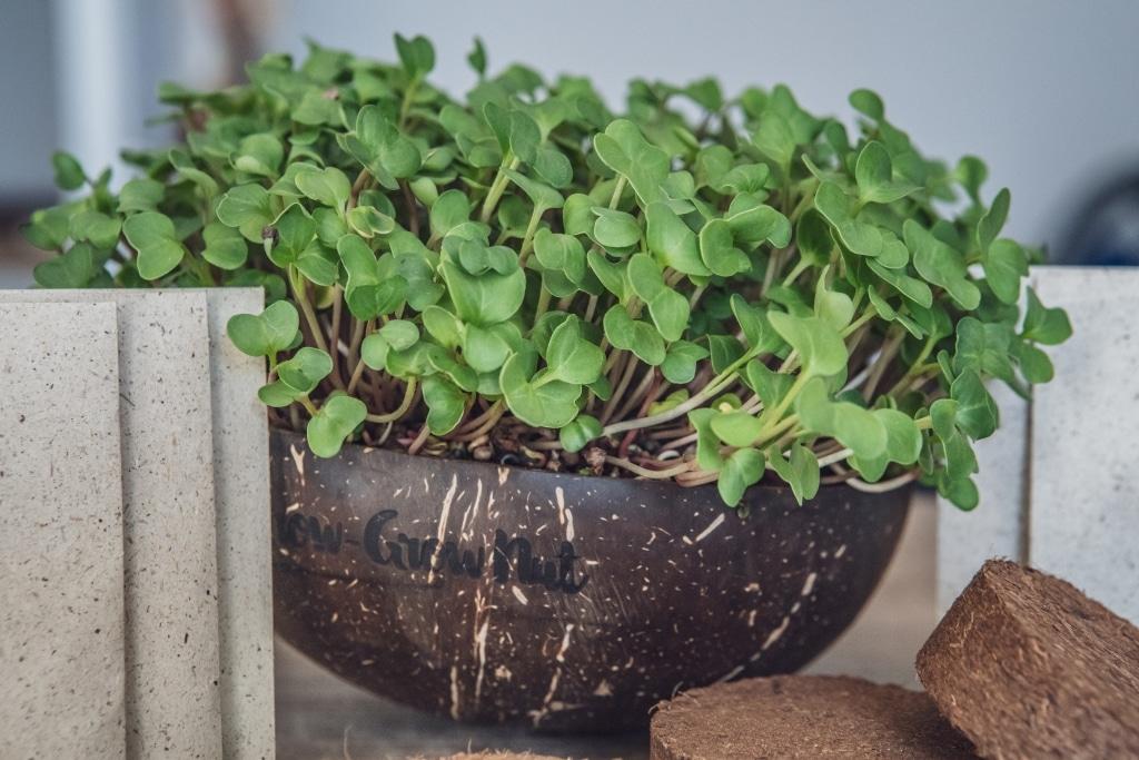 Grow Grow Nut Brokkoli 13