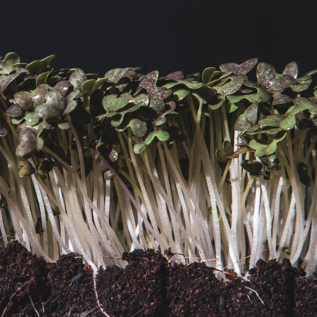 Grow Grow Nut Mizuna 01