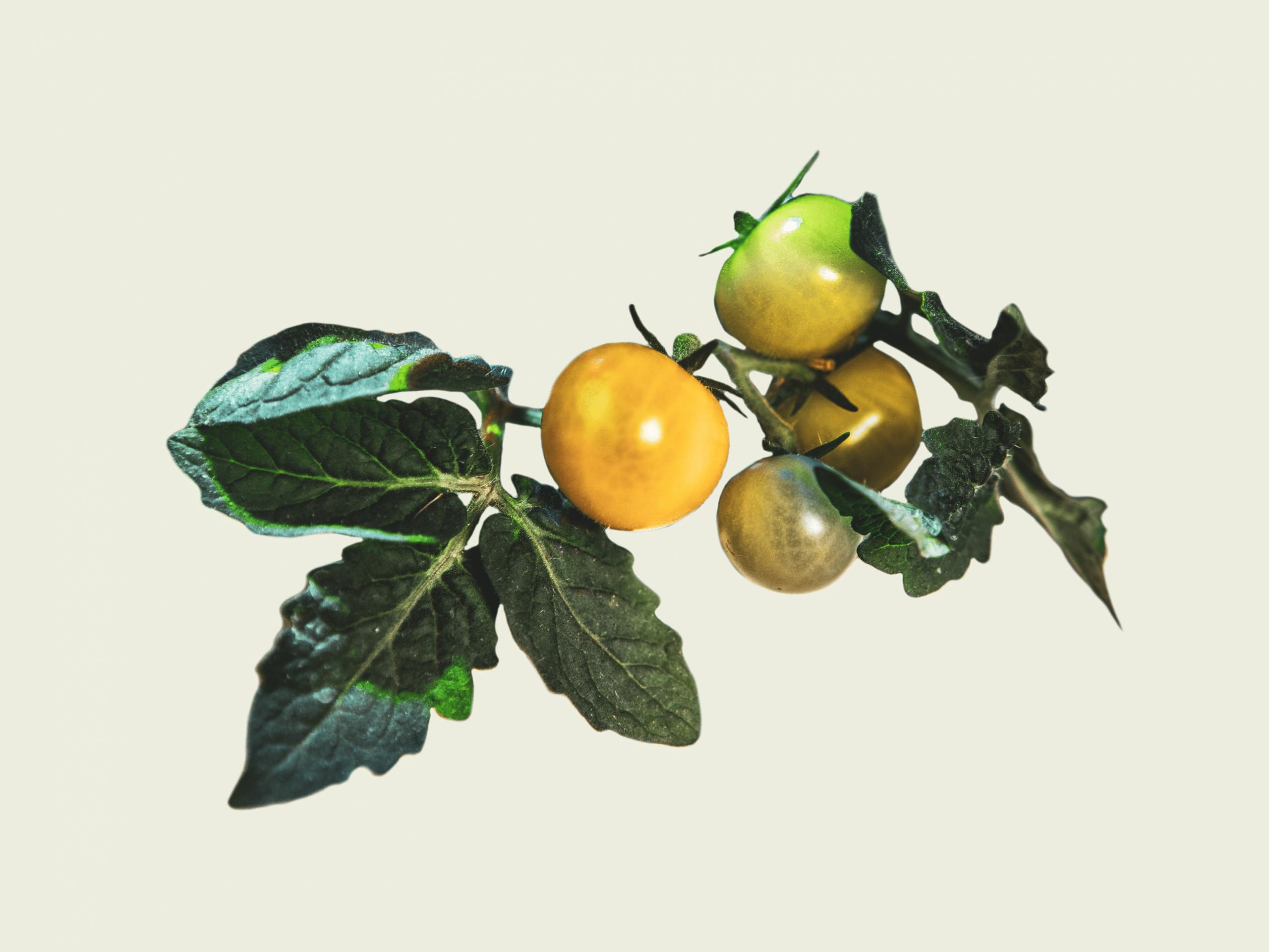 Plantui Smart Garden How To Grow Tomatoes Titelbild